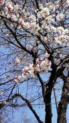 桜_d0004447_18314825.jpg