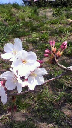 桜№2_d0004447_18404780.jpg