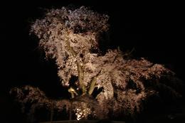 京都の桜_c0187754_20355870.jpg