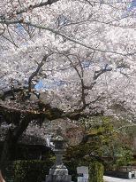 京都の桜_c0187754_20371375.jpg