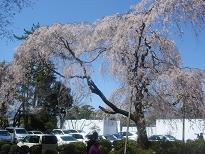 京都の桜_c0187754_2144546.jpg
