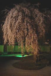 京都の桜_c0187754_214931.jpg