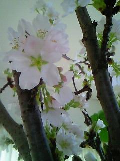 おうちでお花見ヽ(^o^)丿_b0151059_8281836.jpg