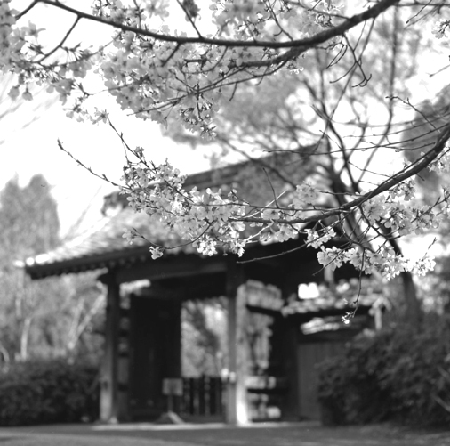 旧家の桜_c0182775_20144440.jpg
