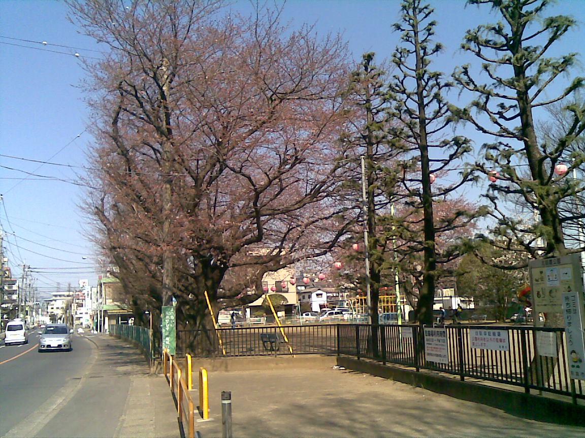 ホームタウンの桜状況_d0061678_2582081.jpg