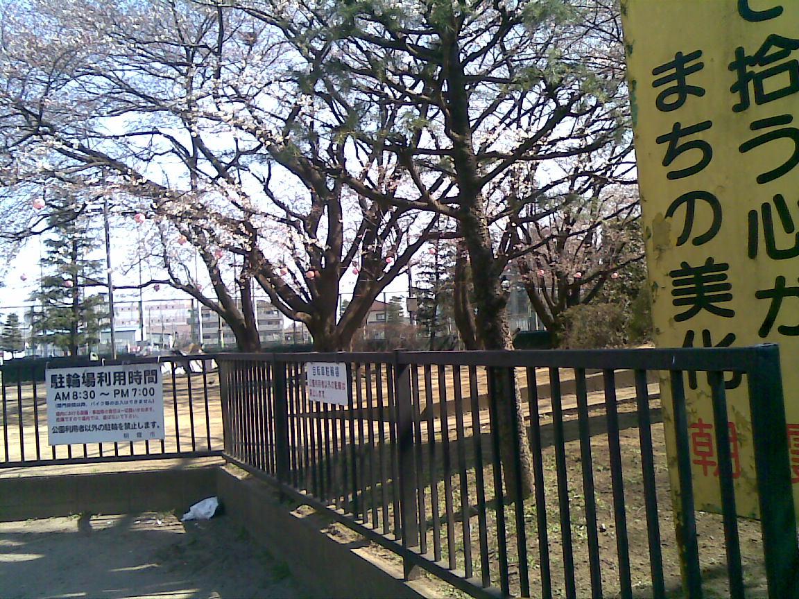 ホームタウンの桜状況_d0061678_2583414.jpg