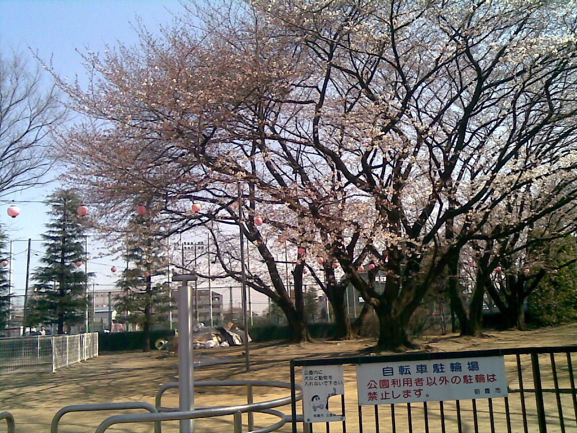 ホームタウンの桜状況_d0061678_258561.jpg