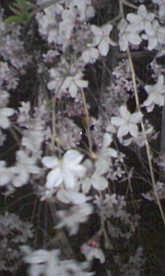 六義園のしだれ桜_e0013178_2331970.jpg