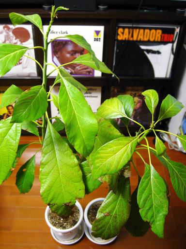 実生同士の接木から1年が経過したアボカドの苗