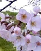 お天気にも恵まれ、桜はちょうど見ごろ・・・
