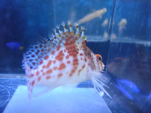海水魚・サンゴ・水草・日本産淡水魚_f0189122_11201430.jpg
