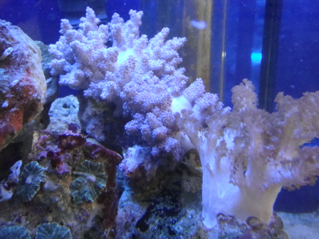 海水魚・サンゴ・水草・日本産淡水魚_f0189122_11241779.jpg