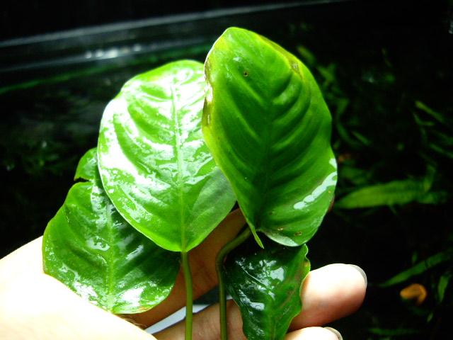 An/caladiifolia ♯1_d0150727_2051193.jpg