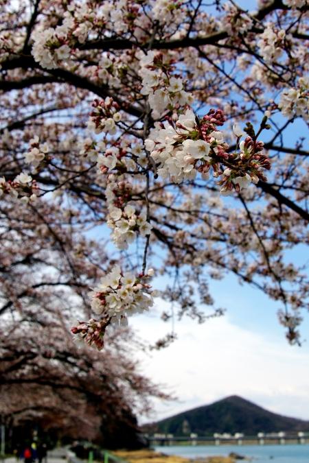 国宝・犬山城 桜_d0145934_851094.jpg