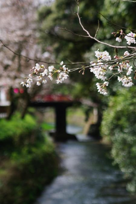 国宝・犬山城 桜_d0145934_8514219.jpg