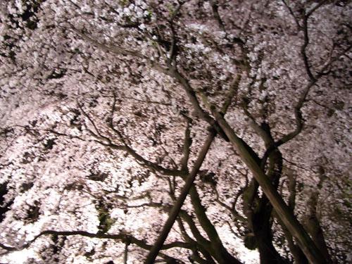 一本の桜     a lonely cherry tree_b0029036_14173788.jpg