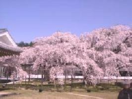 京都の桜_c0187754_8171782.jpg