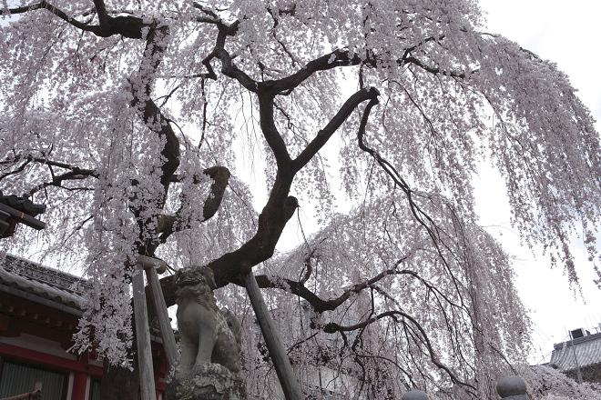 満開-氷室神社_e0133774_20134943.jpg