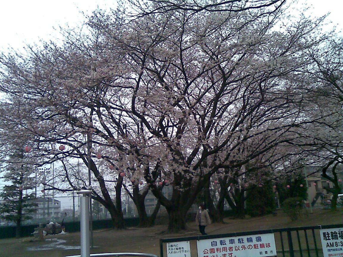 ホームタウンの桜状況 2_d0061678_21382576.jpg