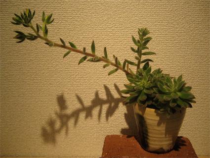 多肉植物はおもしろい_f0143397_1647545.jpg