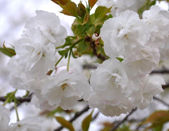 桜「白妙」_b0017645_2230251.jpg