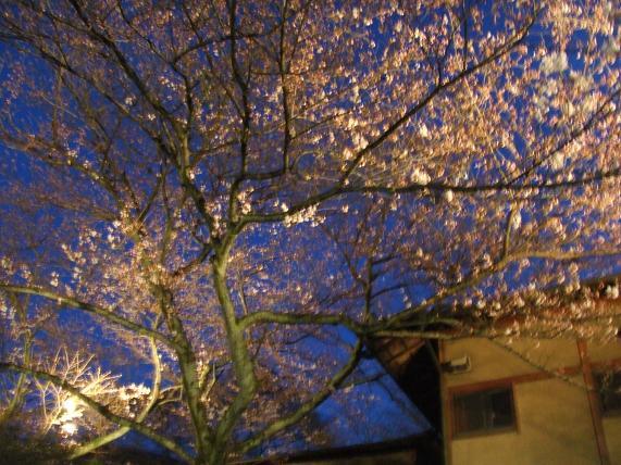 2009年 4月2日かねよの「桜」実況中継_c0078659_16122236.jpg