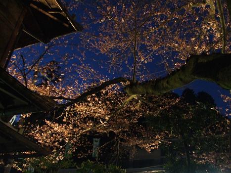2009年 4月2日かねよの「桜」実況中継_c0078659_16271316.jpg