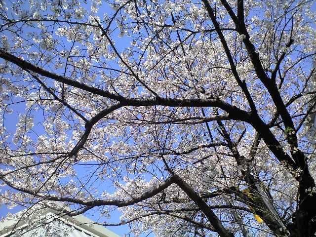 桜・♪(*^ ・^)ノ⌒☆_c0151965_1314360.jpg