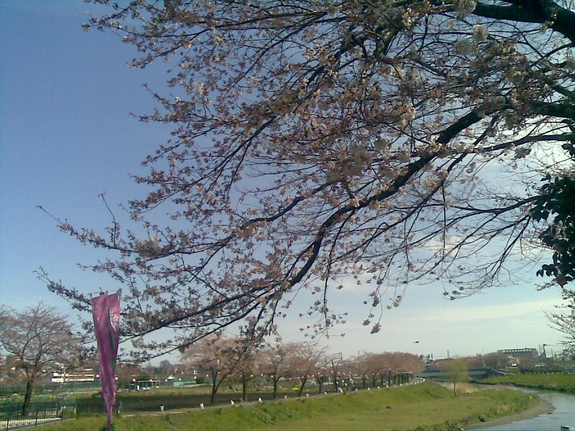 ホームタウンの桜状況 3_d0061678_11285716.jpg