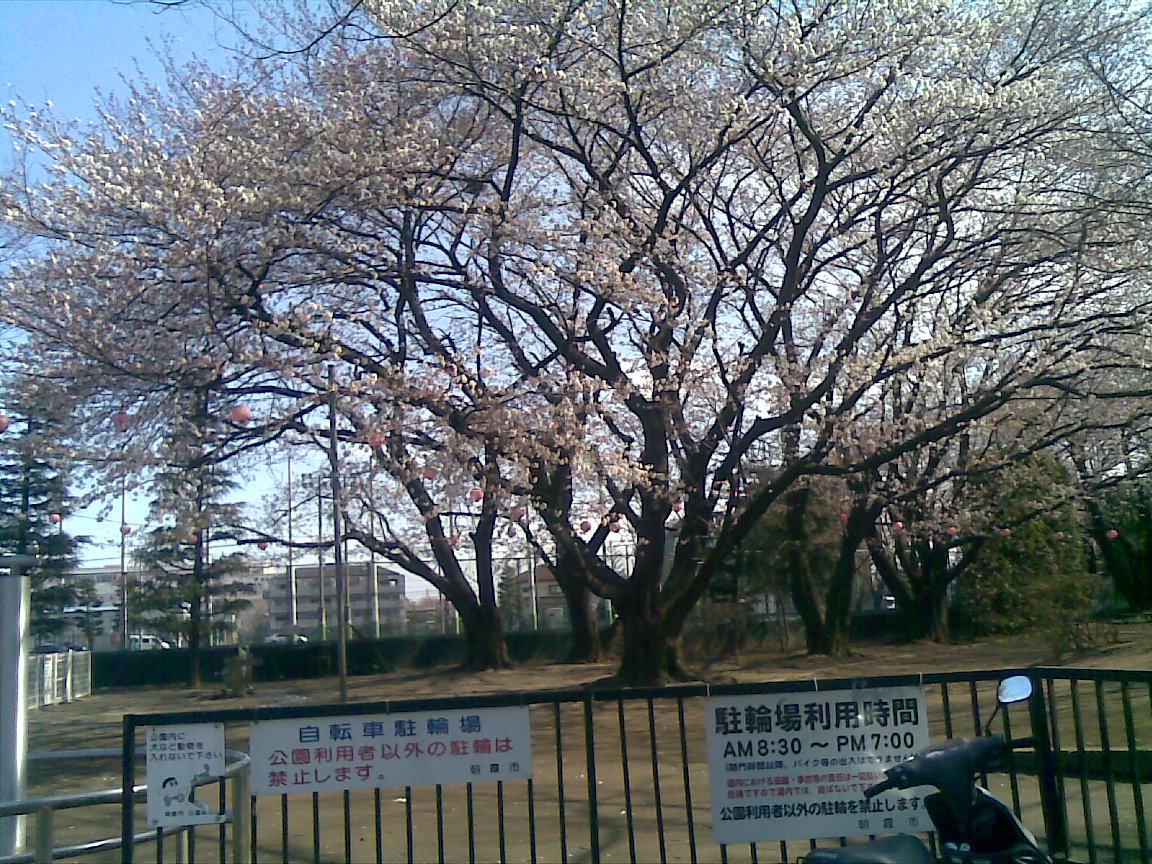ホームタウンの桜状況 3_d0061678_11293086.jpg