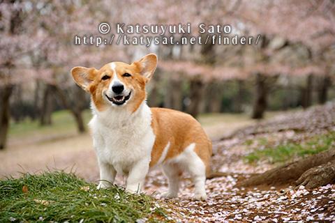 桜の撮影会のお知らせです_d0102523_14453953.jpg