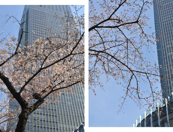 六本木・東京ミッドタウン、国立新美術館の桜_a0003650_23375266.jpg