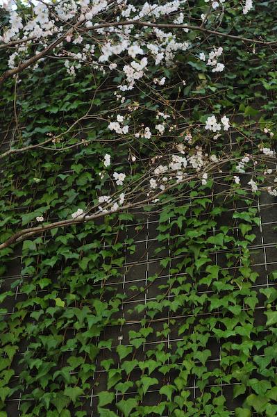 六本木・東京ミッドタウン、国立新美術館の桜_a0003650_2343466.jpg