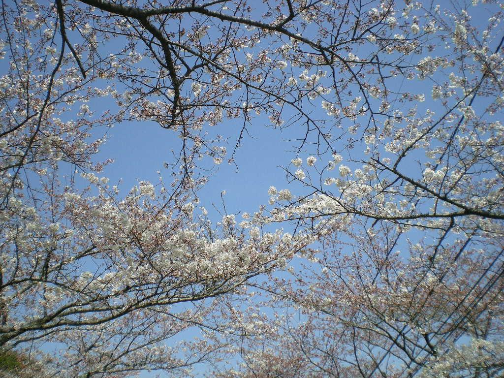 2009年4月3日(金)十万石のお花見!_f0060461_167177.jpg