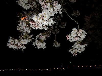 ホームタウンの桜状況 4_d0061678_23251870.jpg