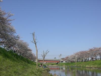 ホームタウンの桜状況 4_d0061678_23253376.jpg