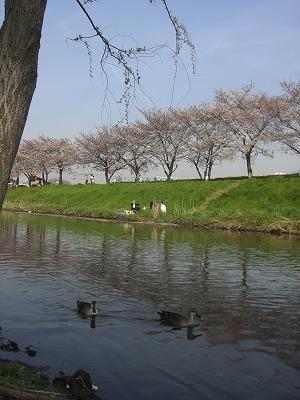 ホームタウンの桜状況 4_d0061678_23254262.jpg