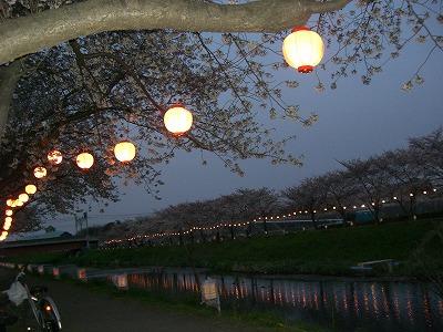ホームタウンの桜状況 4_d0061678_23263395.jpg