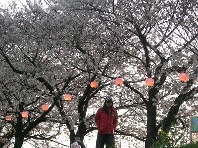 ホームタウンの桜状況 4_d0061678_2326396.jpg