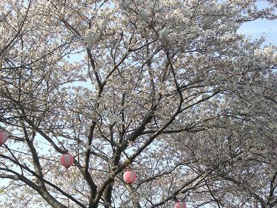 ホームタウンの桜状況 4_d0061678_2345066.jpg