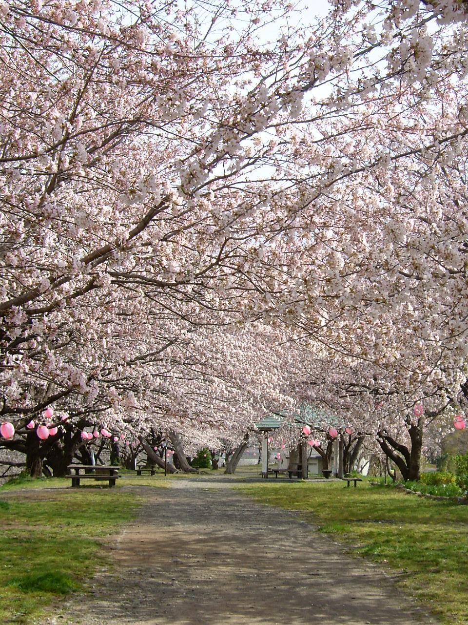 桜の画像 p1_33