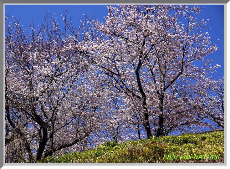 桜満開_b0093088_8594139.jpg