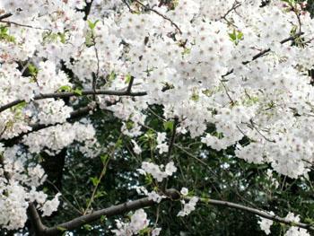 桜だより_f0061394_23403989.jpg