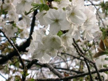 桜だより_f0061394_23405049.jpg