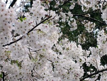 桜だより_f0061394_2341076.jpg
