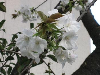 桜だより_f0061394_23413014.jpg