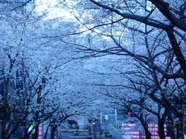 桜満開!_c0168096_7155961.jpg