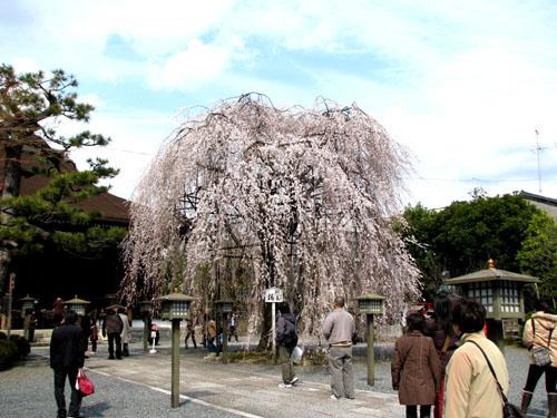 千本釈迦堂 おかめ桜_e0048413_2248498.jpg