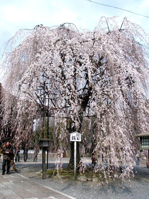 千本釈迦堂 おかめ桜_e0048413_22491435.jpg
