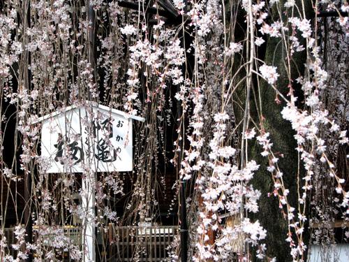 千本釈迦堂 おかめ桜_e0048413_22492748.jpg